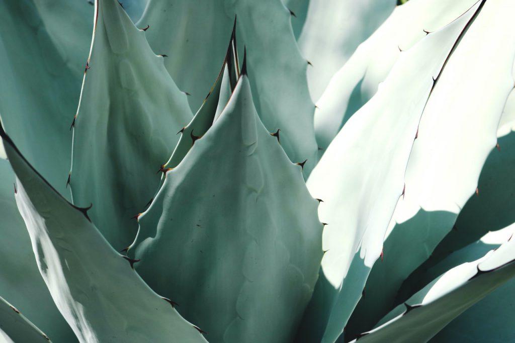 agawa syrop